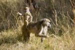Thumbnail Young Baboon Papio on its mothers back, Okavango Delta, Botswana, Africa