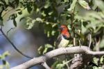 Thumbnail Black-collared Barbet Lybius torquatus