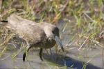 Thumbnail Hammerkop, Hammerhead stork or Umber Bird Scopus umbretta
