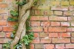 Thumbnail Brick wall and ivy, Ratiborice, Babiccino valley, Nachod district, East Bohemia, Czech Republic, Europe