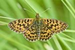 Thumbnail Small Pearl-bordered Fritillary Clossiana selene
