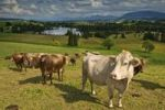 Thumbnail Cows in the meadow near the Schwaigsee Lake near Wildsteig, Pfaffenwinkel region, Upper Bavaria, Germany, Europe