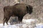 Thumbnail European Bison Bison bonasus, Zubria obora, Ponitrie Protected Landscape Area, Slovakia, Europe