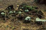 Thumbnail Verdigris Agaric Stropharia aeruginosa mushroom, Allgaeu, Germany, Europe