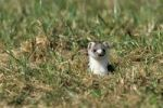 Thumbnail Ermine or Stoat or Short-tailed Weasel Mustela erminea in its winter coat