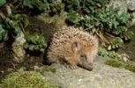 Thumbnail West European Hedgehog Erinaceus europaeus in a garden