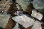 Thumbnail Ermine or Stoat or Short-tailed Weasel Mustela erminea kit in a pile of wood