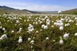 Thumbnail Cottongrass Eriophorum, subarctic tundra, Ogilvie Mountains at back, Dempster Highway, Yukon Territory, Canada, North America