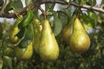 Thumbnail Pears on a pear tree Pyrus communis cultivar, Altes Land fruit growing area, Lower Saxony, Germany, Europe