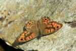 Thumbnail Wall Brown Lasiommata megera butterfly sunning itself on stone vineyard wall