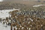 Thumbnail Colony of King Penguins Aptenodytes patagonicus, St. Andrews Bay, South Georgia
