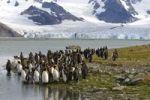 Thumbnail King Penguins Aptenodytes patagonicus, Gould Harbour, South Georgia
