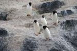 Thumbnail Adelie Penguins Pygoscelis adeliae, Gourdin Island, Antarctica