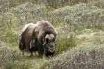 Thumbnail Musk Ox, Muskox Ovibos moschatus in Dovrefjell National Park, Norway, Scandinavia, North Europe