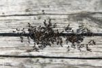 Thumbnail Colony of Red Head Ants also Fire Ants Solenopsis invicta, clustering around a crack in wood, Tremiti Islands, Italy, Europe