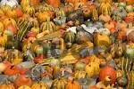Thumbnail Many colorful pumpkins