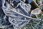 Thumbnail Frost on dead leaves