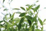 Thumbnail Summer savory Satureja hortensis, herb