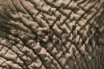 Thumbnail Skin of an elephant