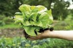 Thumbnail Gardeners hand holding a freshly harvested head of lettuce