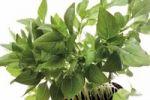 Thumbnail Thai Basil Ocimum basilicum Thai