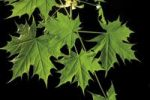 Thumbnail Young maple leaves Acer