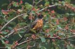 Thumbnail American Robin Turdus migratorius, British Columbia, Canada, North America