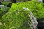Thumbnail Rocks covered in algae, Corniche Basque, Saint-Jean-de-Luz, Aquitaine, France, Europe