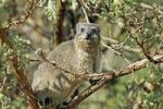 Thumbnail Cape Hyrax, Rock Hyrax, Procavia capensis, Champagne Castle valley, Drakensberge mountains, Kwazulu-Natal, South Africa, Africa