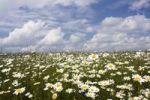 Thumbnail Oxeye Daisies Leucanthemum vulgare