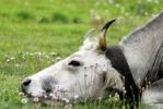 Thumbnail Cow resting with its head on the grass, Gran Sasso, Abruzzi, Italy, Europe