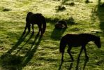 Thumbnail Wild horses in mountain meadows, Gran Sasso, Abruzzi, Italy, Europe