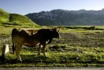 Thumbnail Cattle in the wild, Gran Sasso, Abruzzi, Italy, Europe