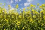 Thumbnail Blooming rape in front of a blue sky, Lower Saxony, Germany