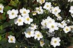 Thumbnail Flowering Japanese Thimbleweed or Anemone cultivar Honorine Jobert Anemone x hybrida Honorine Jobert