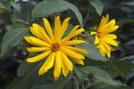 Thumbnail Flowering Jerusalem Artichoke, Topinambur, Sunroot, Sunchoke or Earth apple Helianthus tuberosus