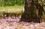 Thumbnail withered pink blossoms around a tree with green moss