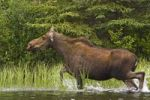 Thumbnail Cow Moose Alces alces, running in shallow water, Big Salmon River, Yukon Territory, Canada, North America