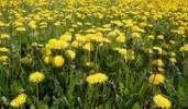 Thumbnail dandelions on a green meadow