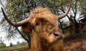 Thumbnail ox looking curiously