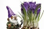 Thumbnail Garden gnome wearing glasses and carrying a spade, in front of crocuses