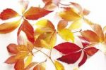Thumbnail Autumnal wine leaves Parthenocissus quinquefolia