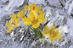 Thumbnail Crocuses enveloped in ice