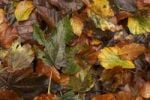 Thumbnail Wet autumn leaves