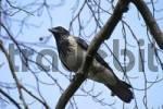 Thumbnail Hooded crow Corvus corone cornix