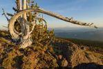 Thumbnail Dead tree on Mount Hood volcano, Cascade Range, Oregon, USA