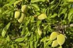 Thumbnail green almonds, fruit on an almond tree, Costa Blanca, Spain