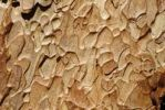 Thumbnail Ponderosa Pine bark Pinus ponderosa, Oregon, USA