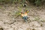 Thumbnail Bee-eaters Merops apiaster, couple after mating