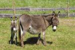 Thumbnail Donkey Equus asinus with foal, Bavaria, Germany, Europe